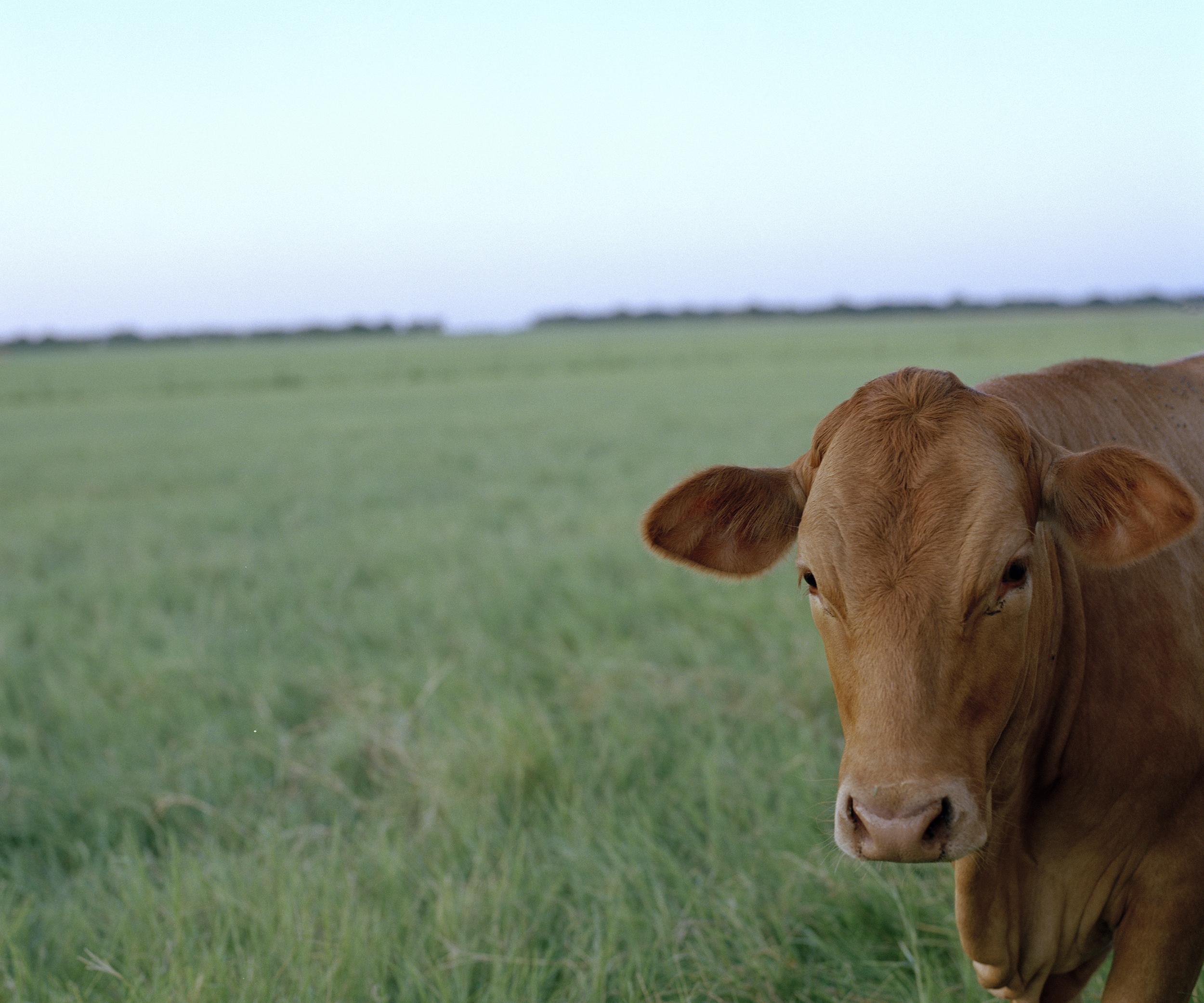 cow 002.jpg