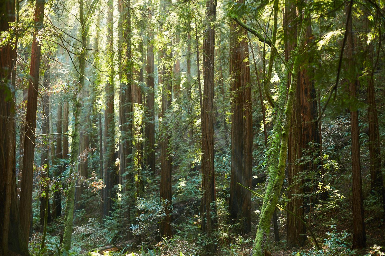 sophia-liu-photography-muir-woods-IMG_8050x1500.jpg