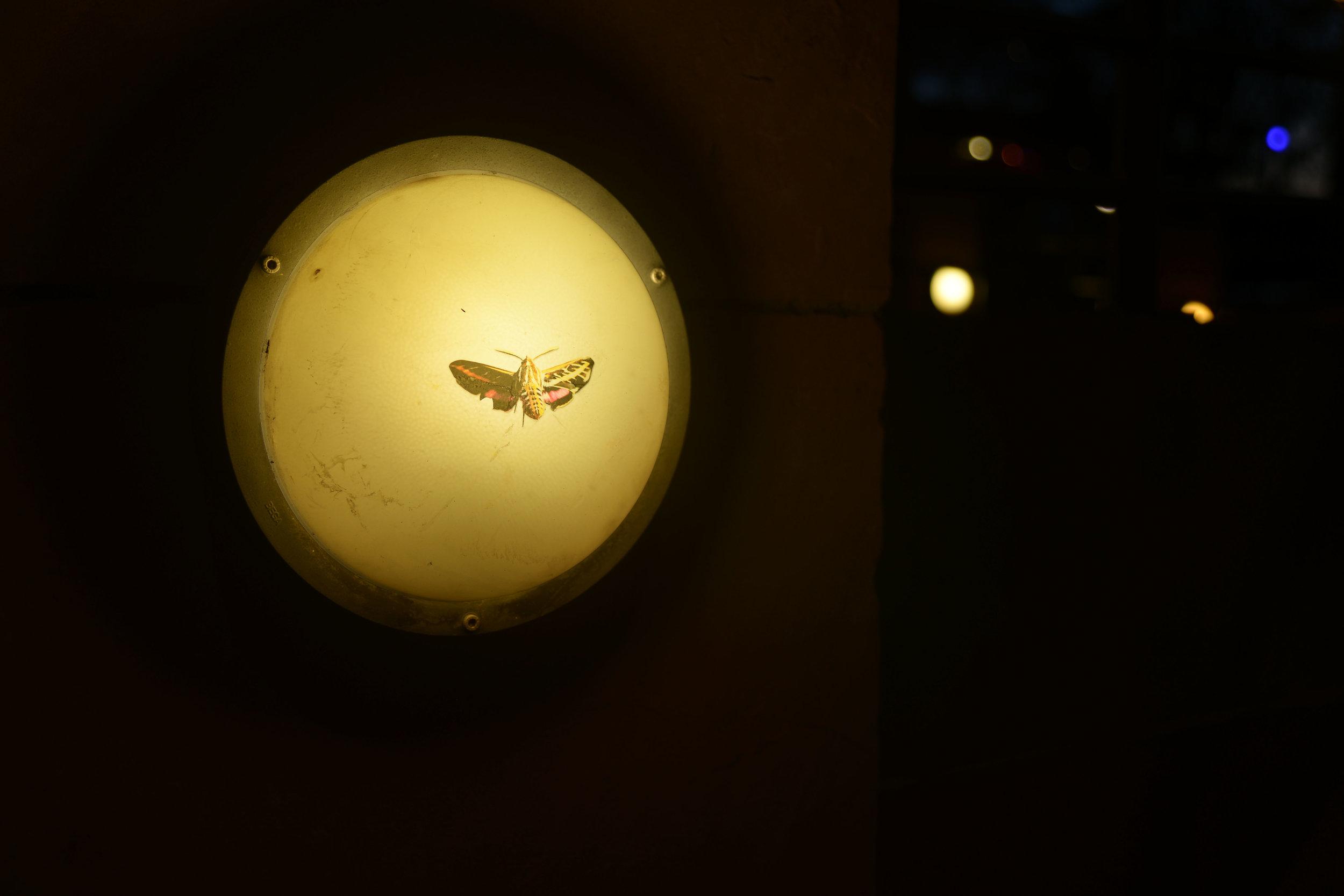 hummingbird_moth_2.jpg