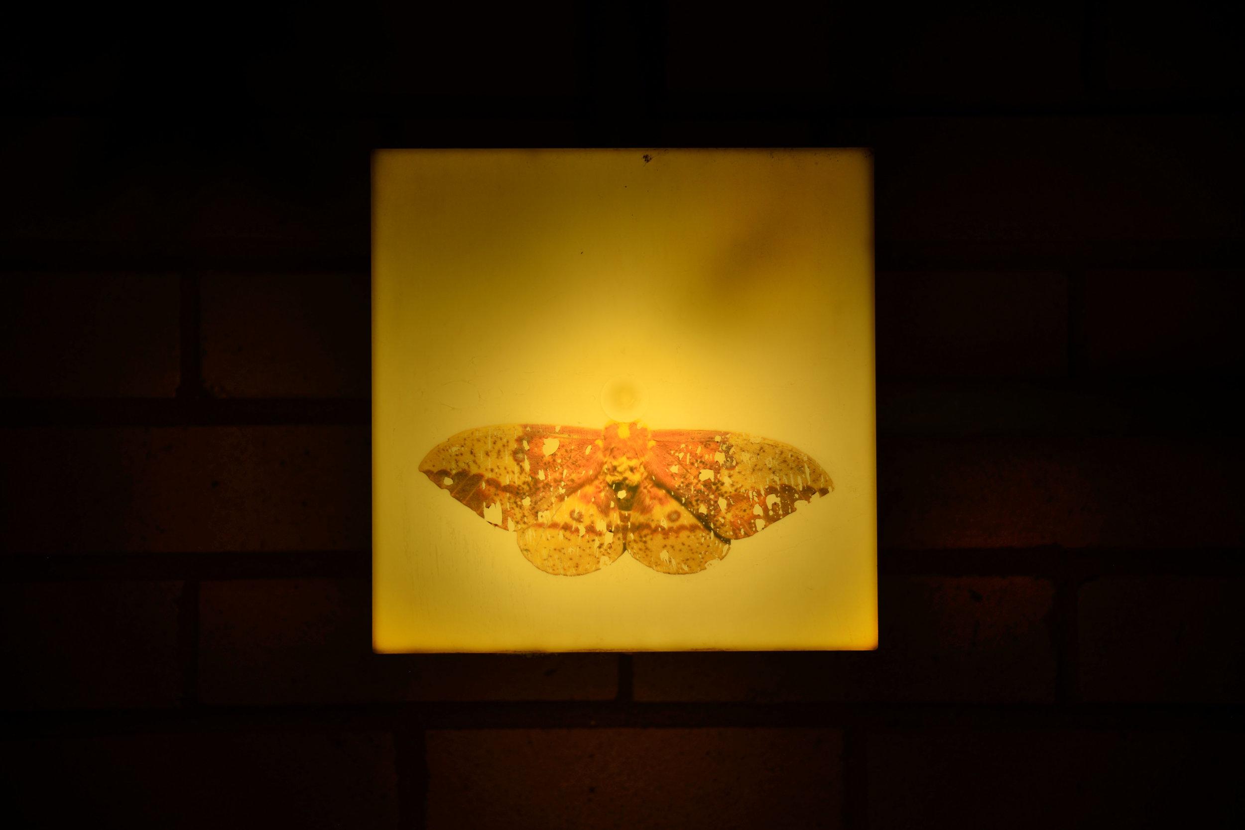 imperial_moth.jpg