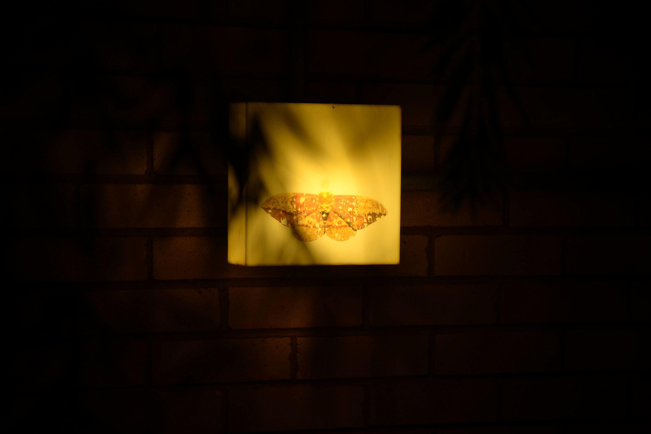 imperial_moth2.jpg