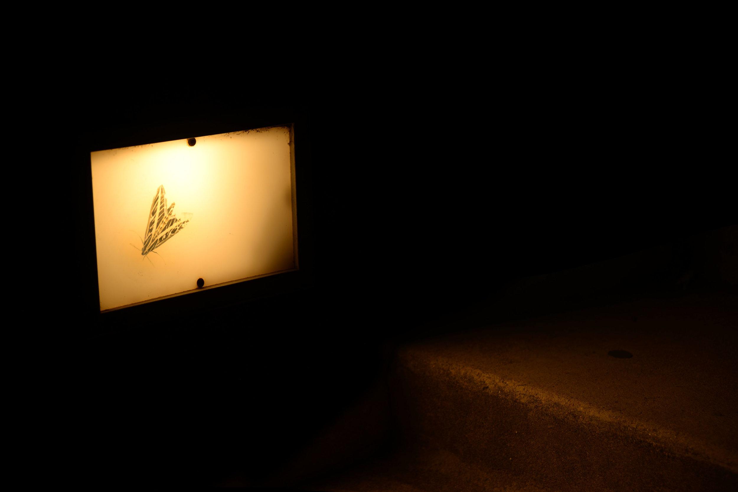 vine_sphinx_moth.jpg