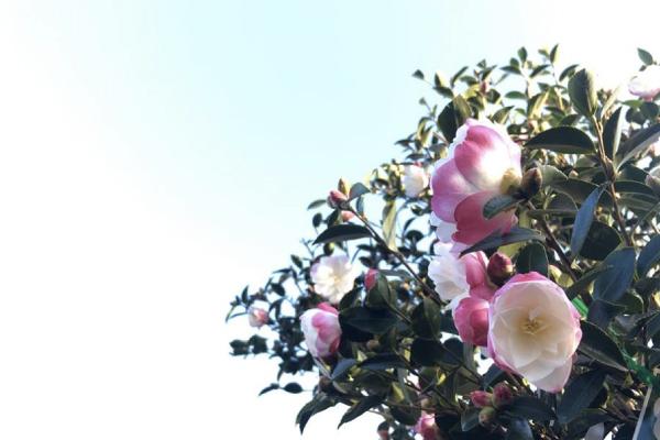 Camellia-600x400.jpg