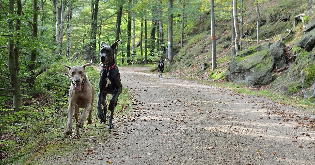 running-dogs-2793799_1280.jpg