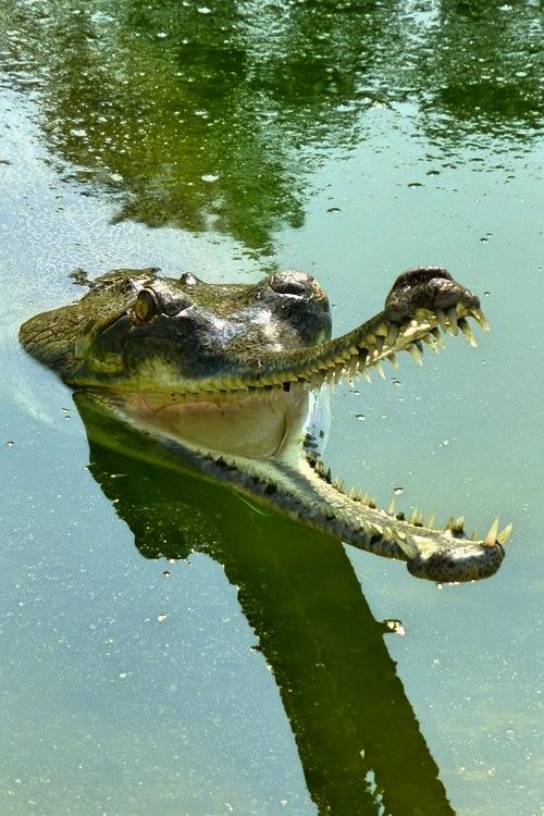 chitwan-croco2.jpg