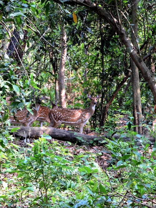 chitwan-deer.jpg