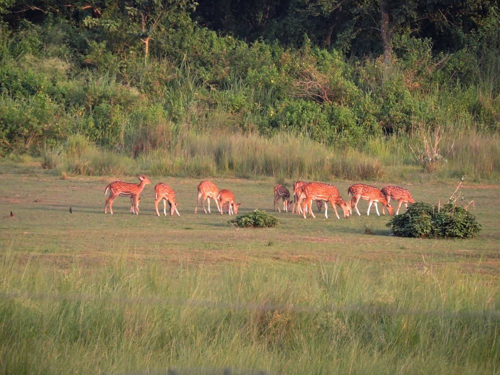 chitwan-deers.jpg