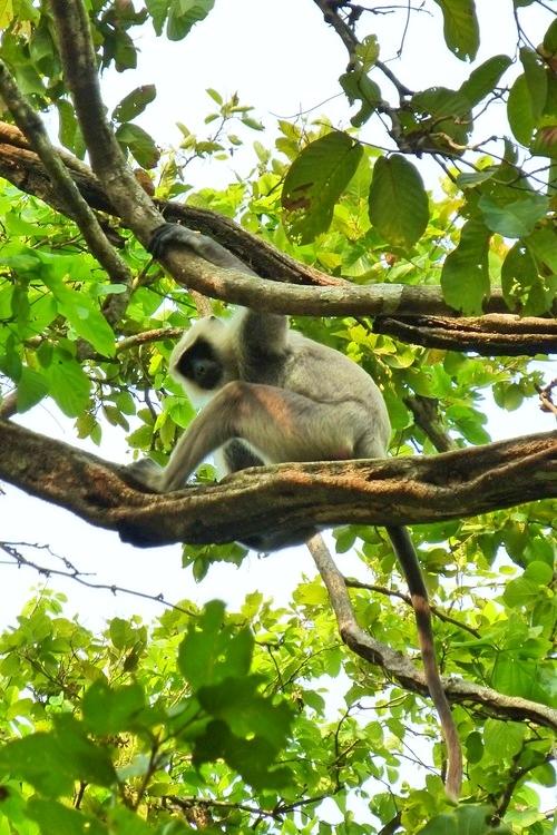 chitwan-monkey.jpg