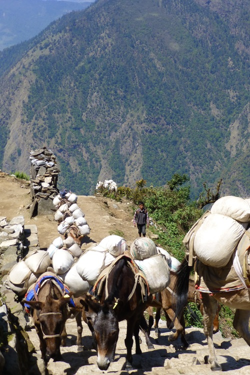 Mules carrying supplies to villages