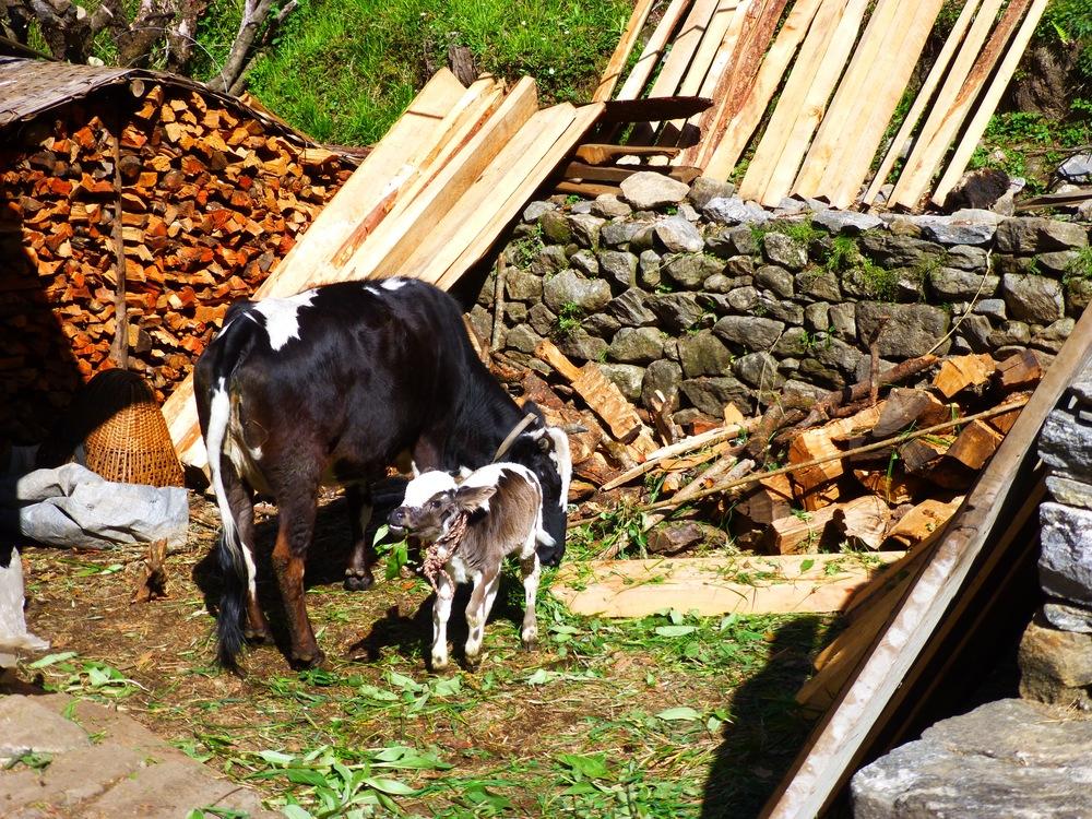 Yaks walking around in the village
