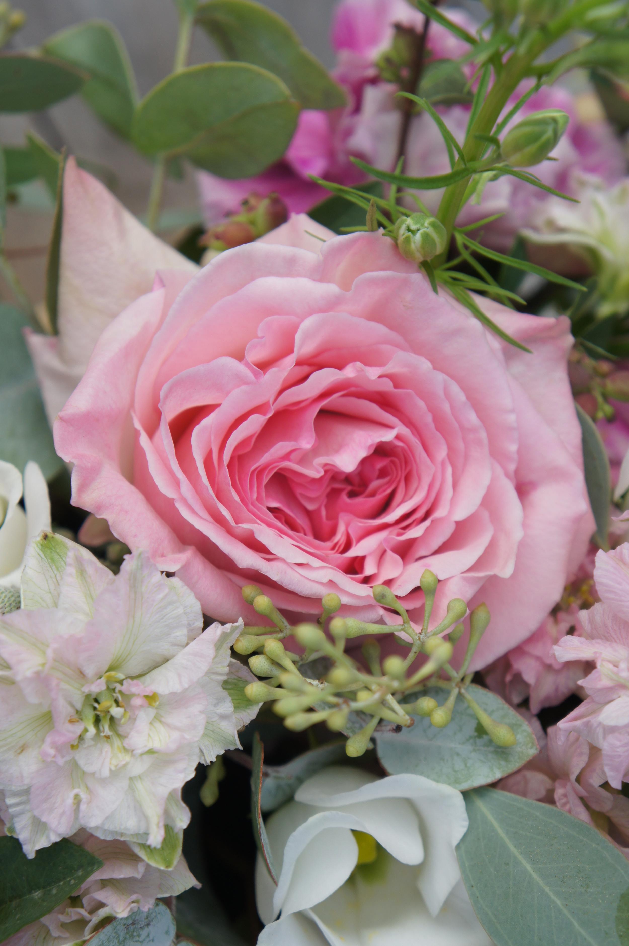"David Austin rose ""Pink O'Hara"" variety"