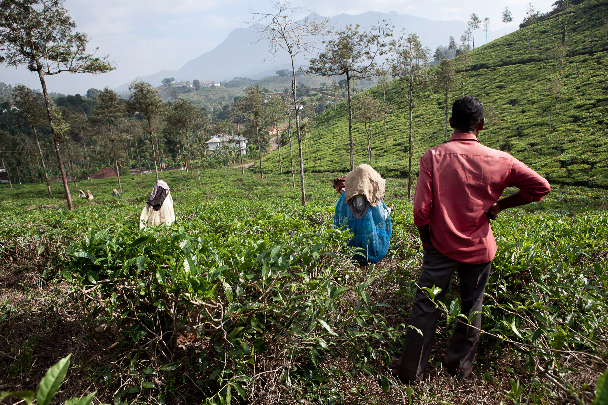A male field watcher oversees the work of the women tea puckers, weighing in the sacks of leaf both late morning and evening before collection to ensure the women are meeting their daily quota.  Although women comprise of over half the workforce on tea estates, there is still a sizable disparity between their numbers and those holding managerial positions.
