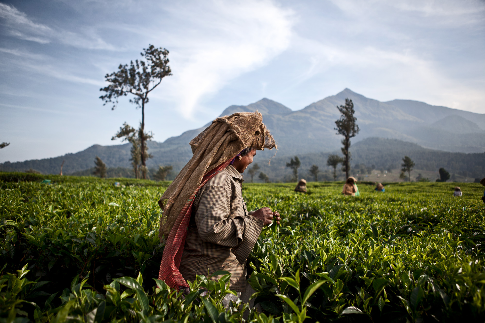 A female tea plucker working in one of the vast tea fields on the estate.  The women are expected to pick 23kg per day and work a 6 day week.  Traditionally this is a lowly paid job dominated by women.