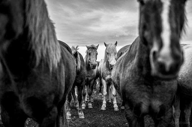 Icelandic horses - Iceland • • • • • #visiticeland #horses #landscapelovers #bnw_guru #bnw_society #bw_lover #fineart_photobw #flair_bw #bnwsouls #bnwmood #bnw_life #bnw_life_shots #bw_perfect #bnw_captures #mycanon #icelandichorse #nature #explore #instadaily #photojournalist #picoftheday #lifestyle #clarity #adventure #drama #adventure #outdoors #equestrian #riding #mystopover