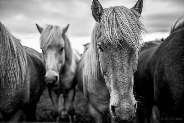 Another huddle of Icelandic horses!🐴 - Iceland • • • • • #visiticeland #horses #landscapelovers #bnw_guru #bnw_society #bw_lover #fineart_photobw #flair_bw #bnwsouls #bnwmood #bnw_life #bnw_life_shots #bw_perfect #bnw_captures #mycanon #icelandichorse #nature #explore #instadaily #photojournalist #picoftheday #lifestyle #clarity #adventure #drama #adventure #outdoors #equestrian #riding #mystopover