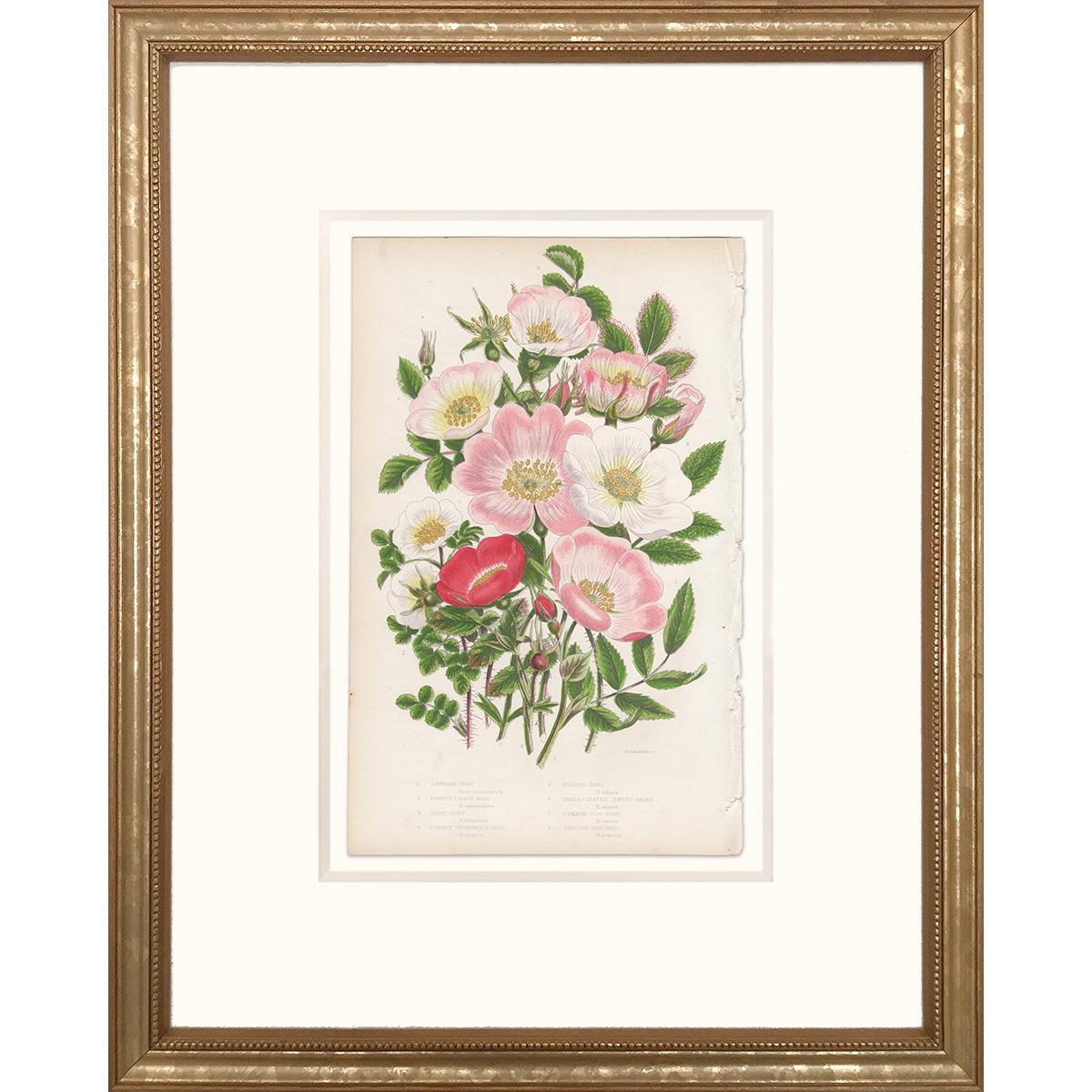 Anne Pratt Plate 71 Rose, Sweet-briar, Dog-rose - Framed print