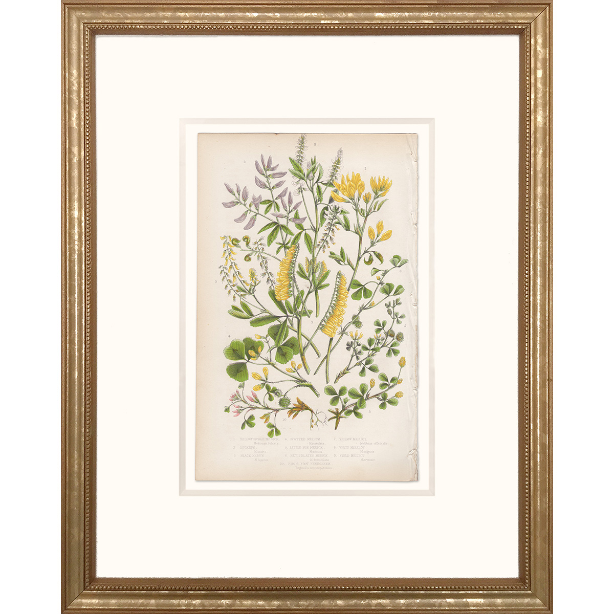 Anne Pratt Plate 58 Medick, Lucerne, Melilot - Framed print