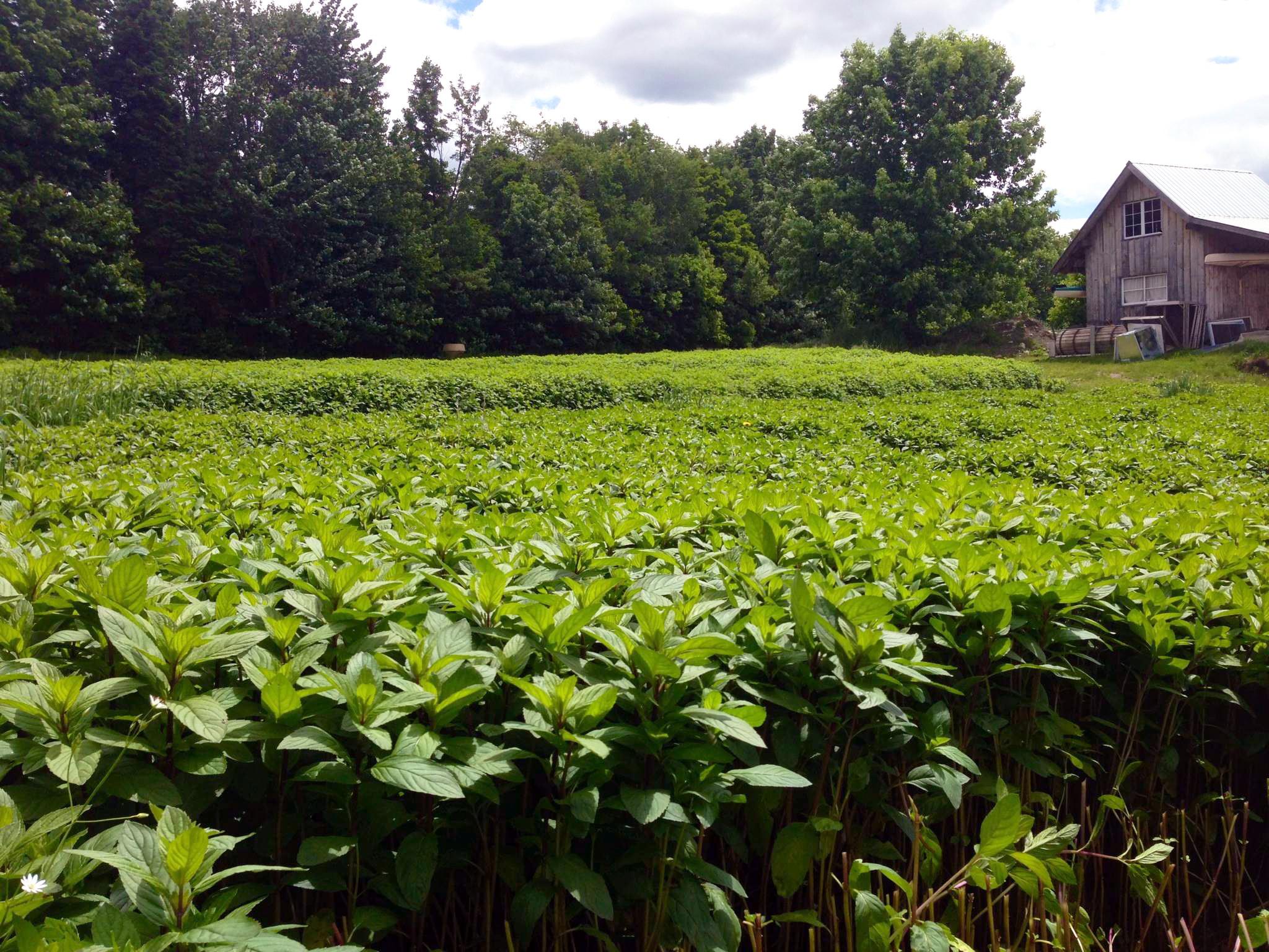 09-11 peppermint field.jpg