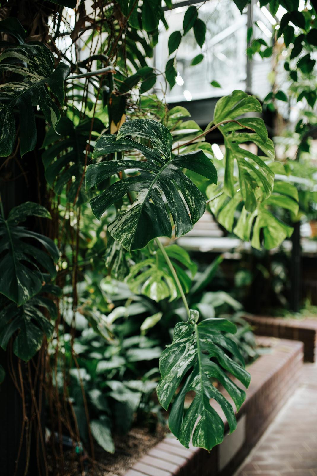 Close-up detail shot of Monstera Deliciosa plant at the barbican