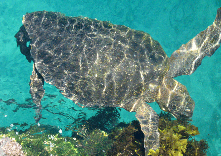 SeaTurtle750x530.png