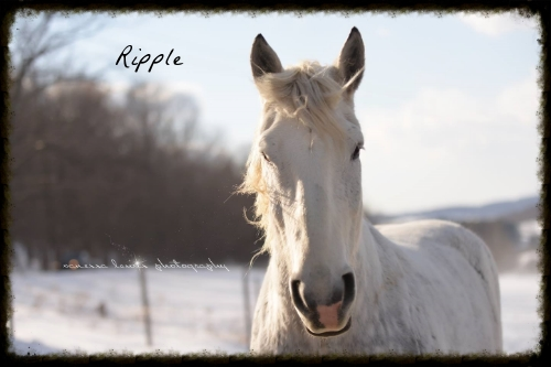 Ripple:    Hands down the comedian of the herd, all Ripple wants to do is eat, sleep, and play, he is constantly into mischief.  One day we went outside and there is Ripple standing on the outside of the fence looking in at all of the other horses, we have still never figured just out how he got out! He's not just with the other horses. This silly white boy loves to get his humans into the action with a gentle tug or nudge.  Ripple loves to work and love to give his winter sleigh rides.