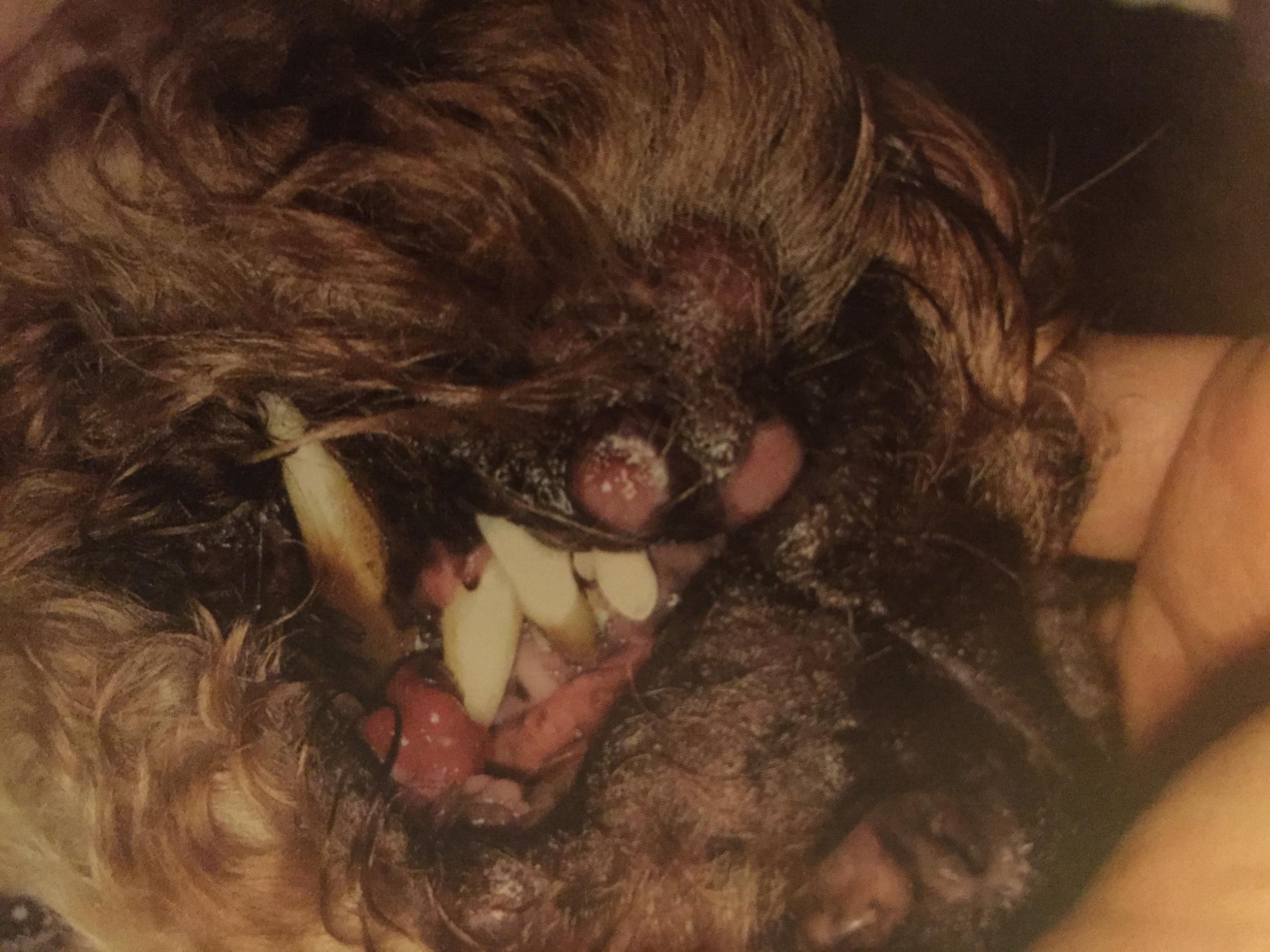 multiple lymphoma nodules around the muzzle