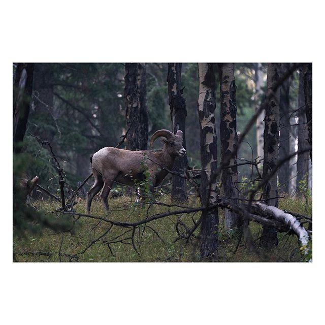 I N⠀T H E  W O O D S⠀⠀⠀⠀⠀⠀⠀ ⠀⠀⠀⠀⠀⠀⠀⠀⠀⠀⠀⠀ ⠀⠀⠀⠀⠀⠀⠀⠀⠀⠀⠀⠀⠀⠀⠀⠀⠀⠀⠀⠀⠀⠀⠀⠀ ⠀⠀⠀⠀⠀⠀⠀⠀⠀⠀⠀⠀ ⠀⠀⠀⠀⠀⠀⠀⠀⠀⠀⠀⠀ ⠀⠀⠀⠀⠀⠀⠀⠀⠀⠀⠀⠀ ⠀⠀⠀⠀⠀⠀⠀⠀⠀⠀⠀⠀ ⠀⠀⠀⠀⠀⠀⠀⠀⠀⠀⠀⠀ ⠀⠀⠀⠀⠀⠀⠀⠀⠀⠀⠀⠀ #sony #sonyalpha #A7RIII #alpha #alphacollective #forest #alberta #banff #trees #sonyalpha #tree #explorealberta #sony #canada #travelalberta #explorecanada #banffnationalpark #woods #sonya7rii #a7rii #wildlife #sheep #ram #wildlifephotography #imagesofcanada #sonyphotography #wildanimals #wildlife #animallovers #wildlifephotography