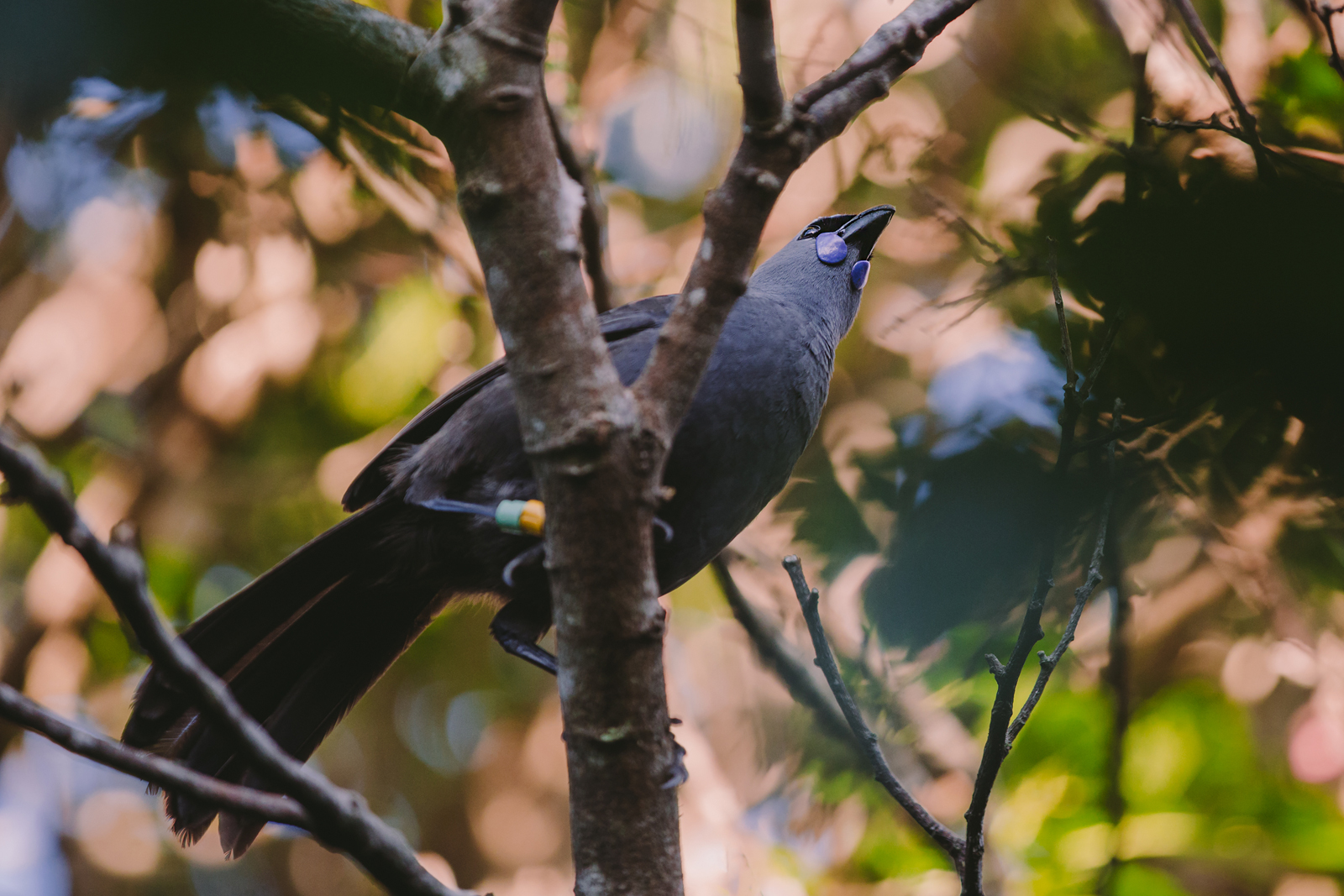 The final kōkako of our quota. Before capture, and...