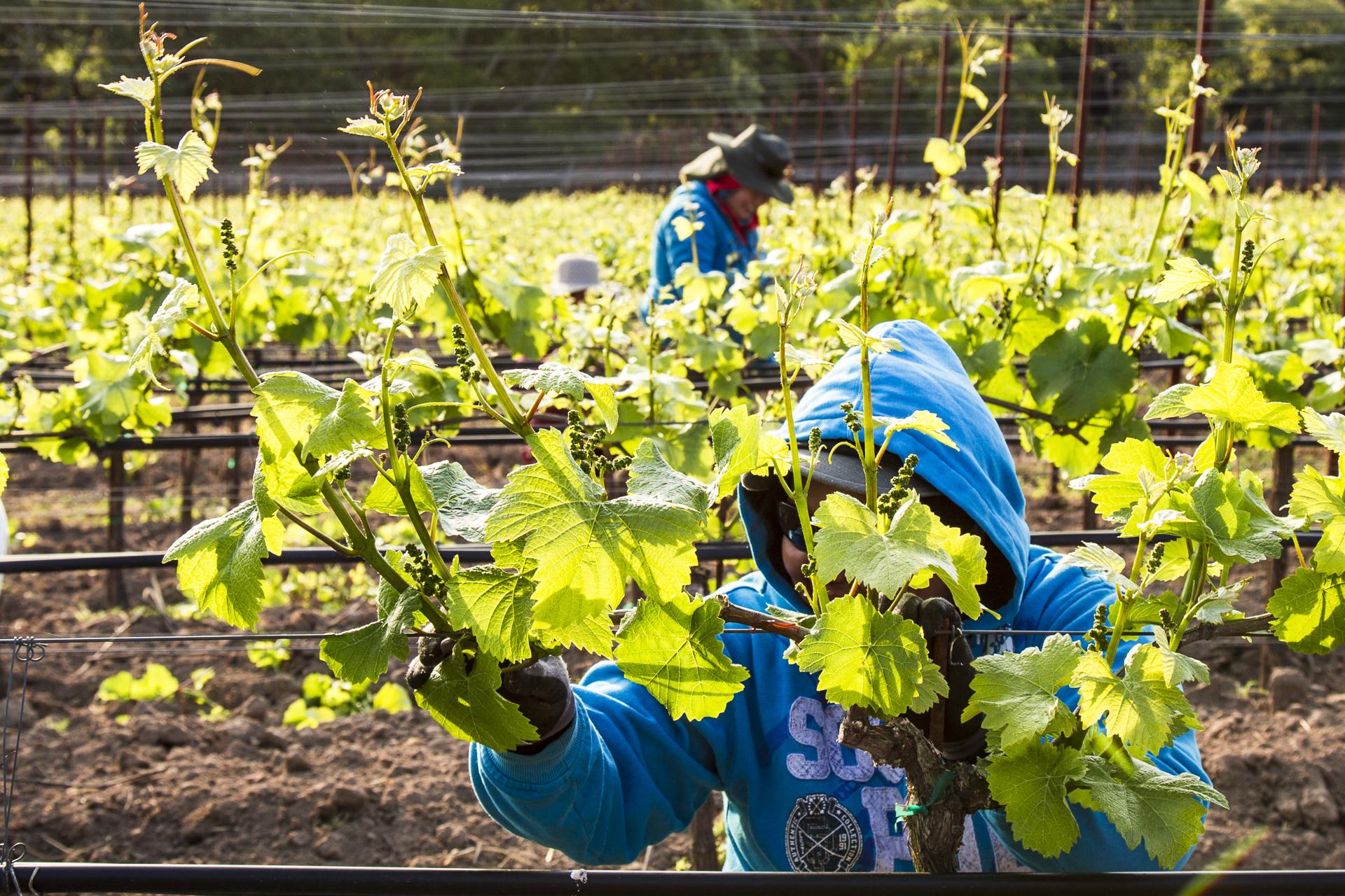 Vineyard work, Tilton Hill Vineyard, March 2015