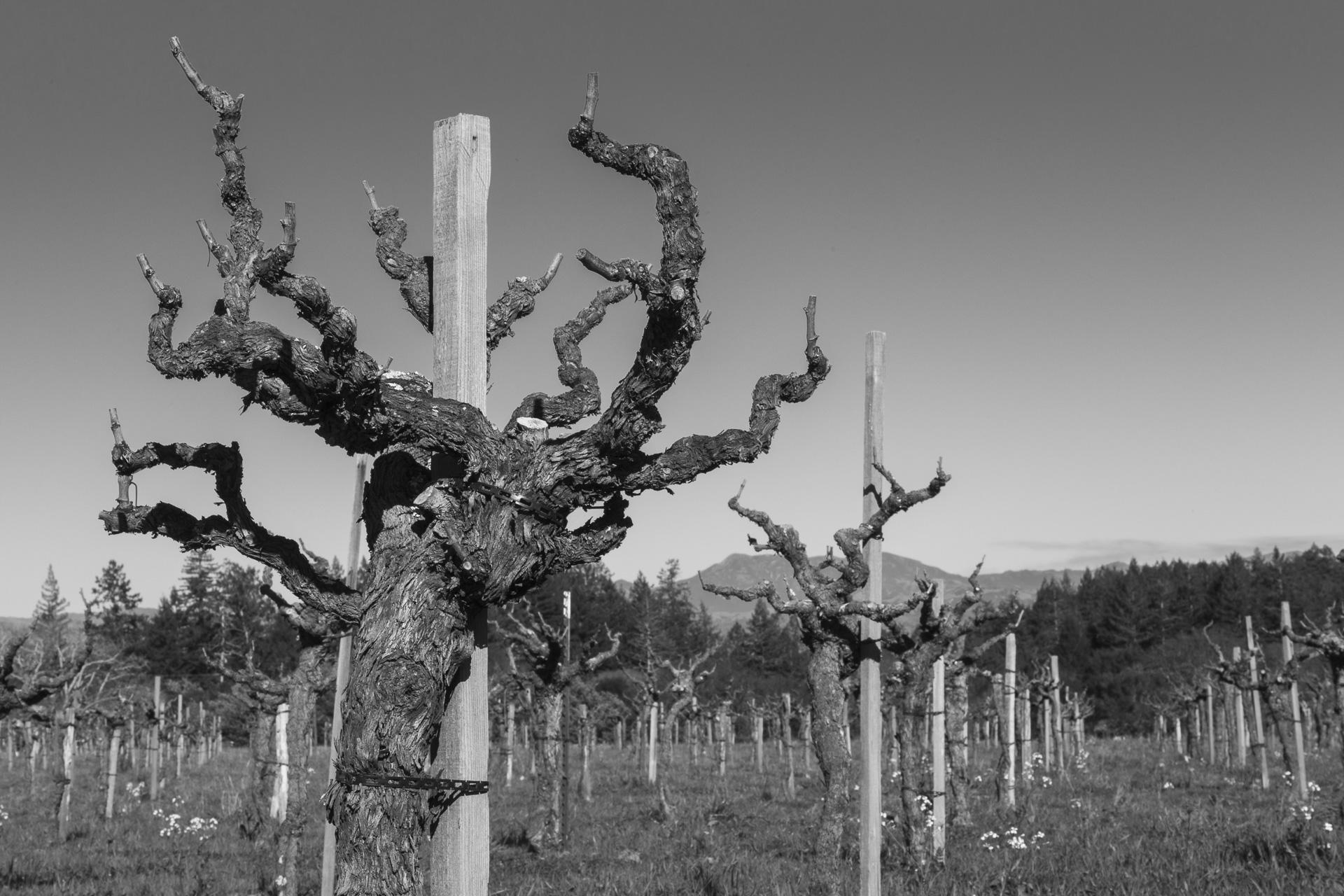 Old-Vine Zinfandel, Robert's Block, Radio-Coteau Estate Vineyard, January 2015
