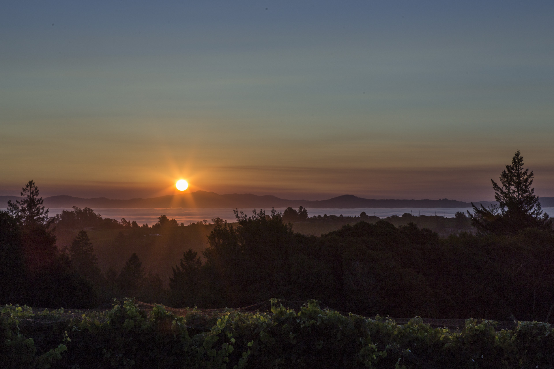 Sunrise on the brink of harvest, Tilton Hill Vineyard, August 2015