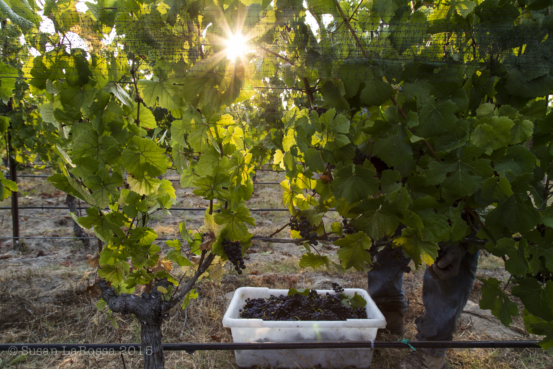 Picking Alberigi Vineyard, August 15, 2015