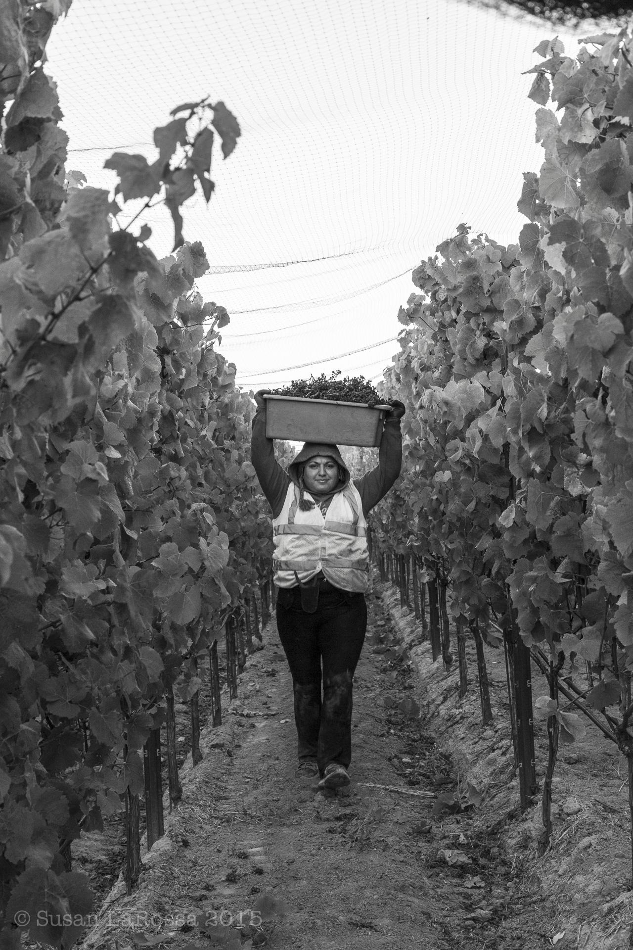 Picking Tilton Hill Vineyard, September 2, 2015