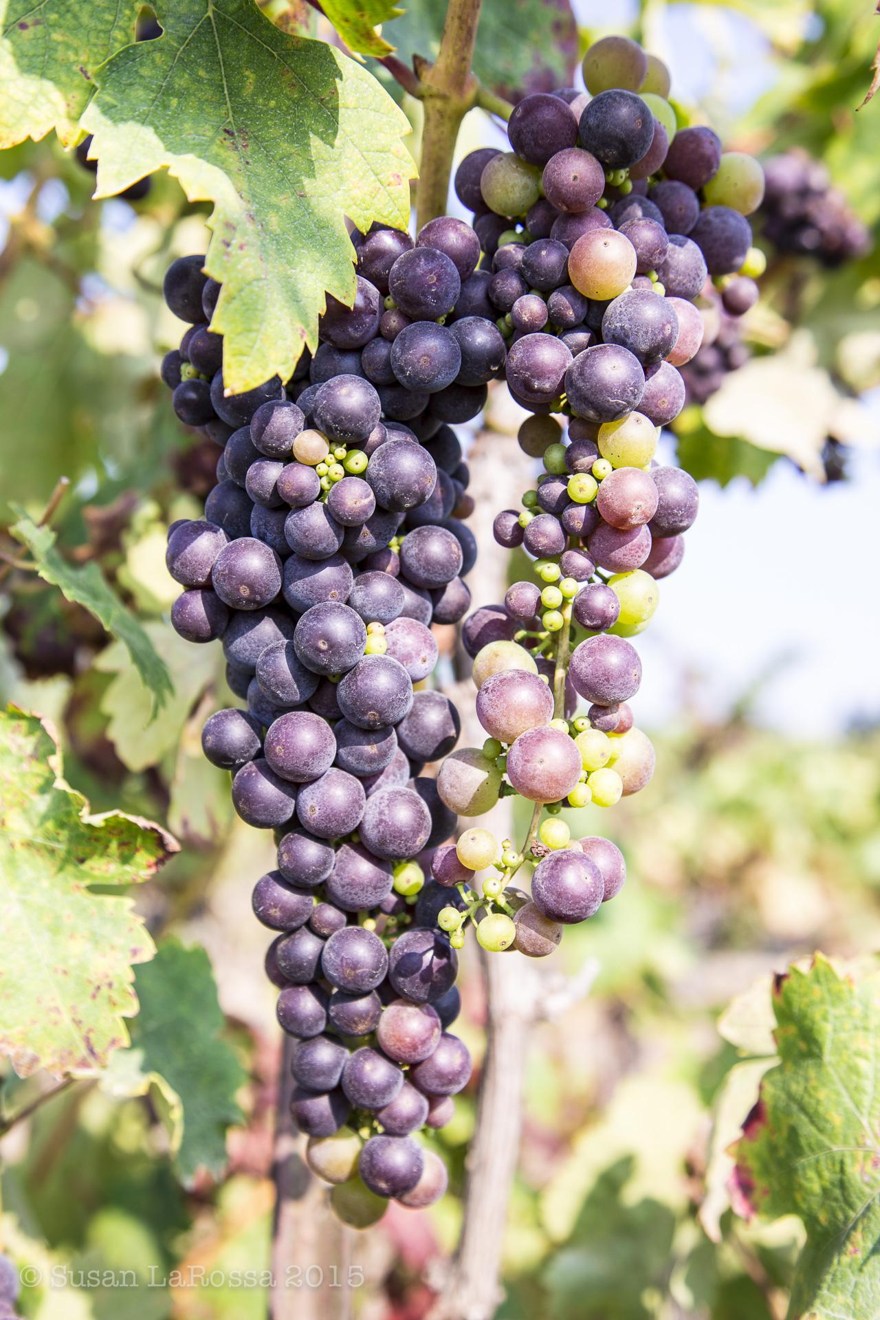 Old-Vine Zinfandel cluster, 2-3 weeks from harvest, Radio-Coteau Estate Vineyard