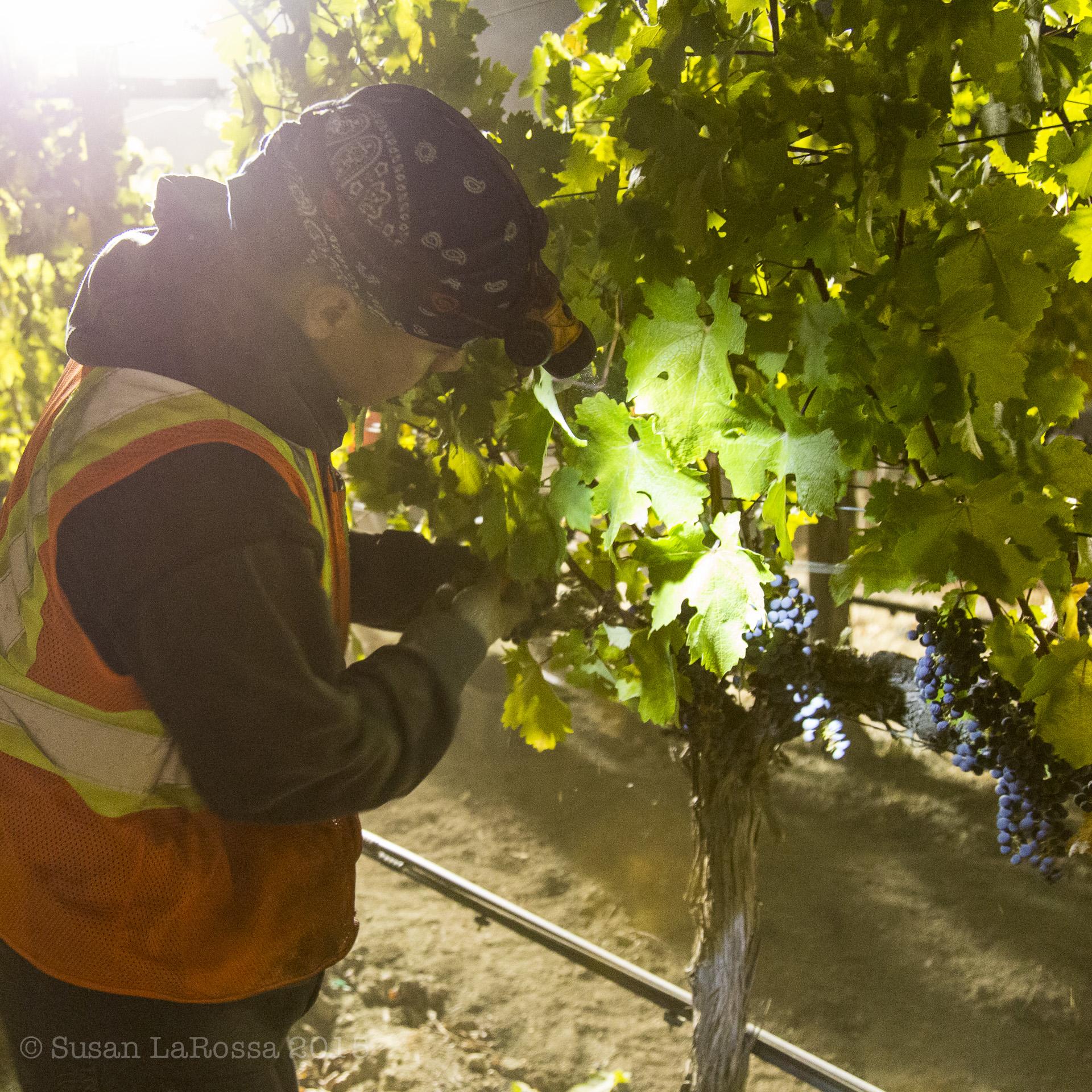 Light on the grapes, Meteor Vineyard