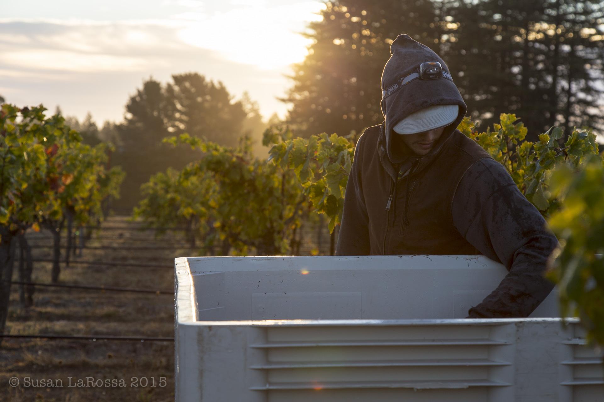 Harvesting the Radio-Coteau estate vineyard in 2015