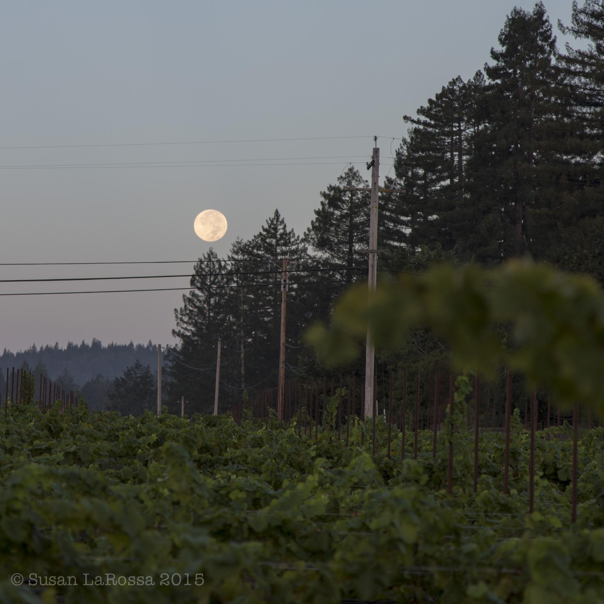 Picking the Radio-Coteau estate vineyard under a setting full moon