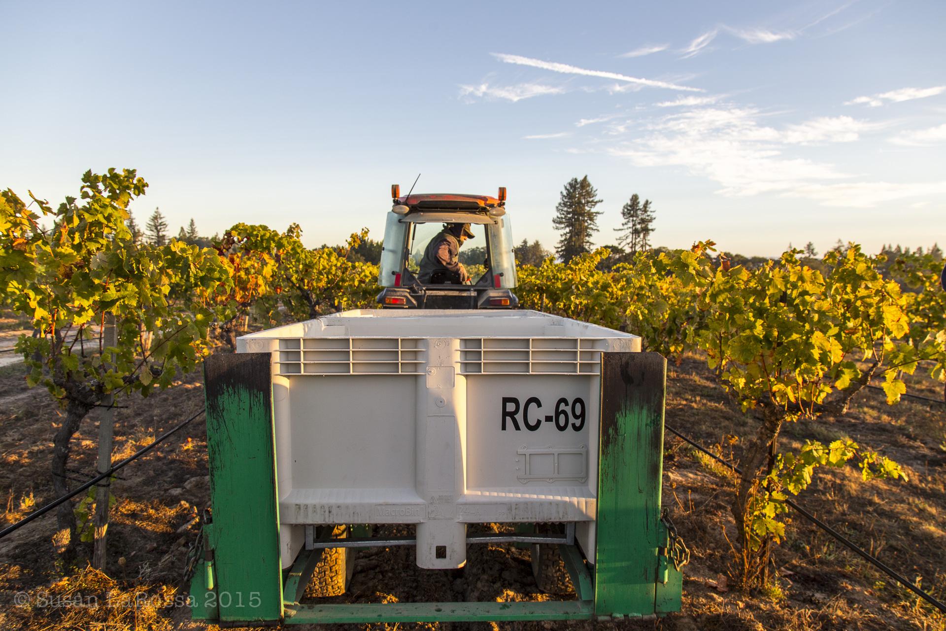 Harvest fall colors at Radio-Coteau estate vineyard