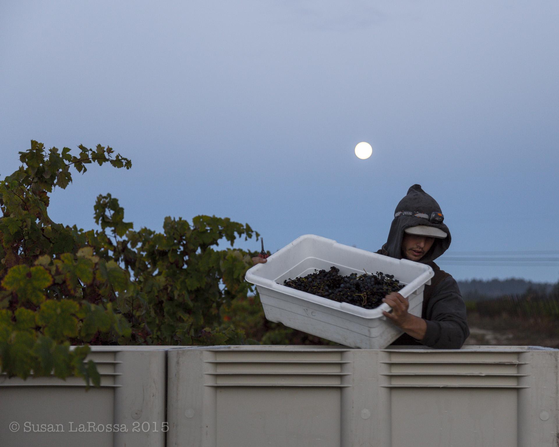 Evan dumping grapes under a full moon