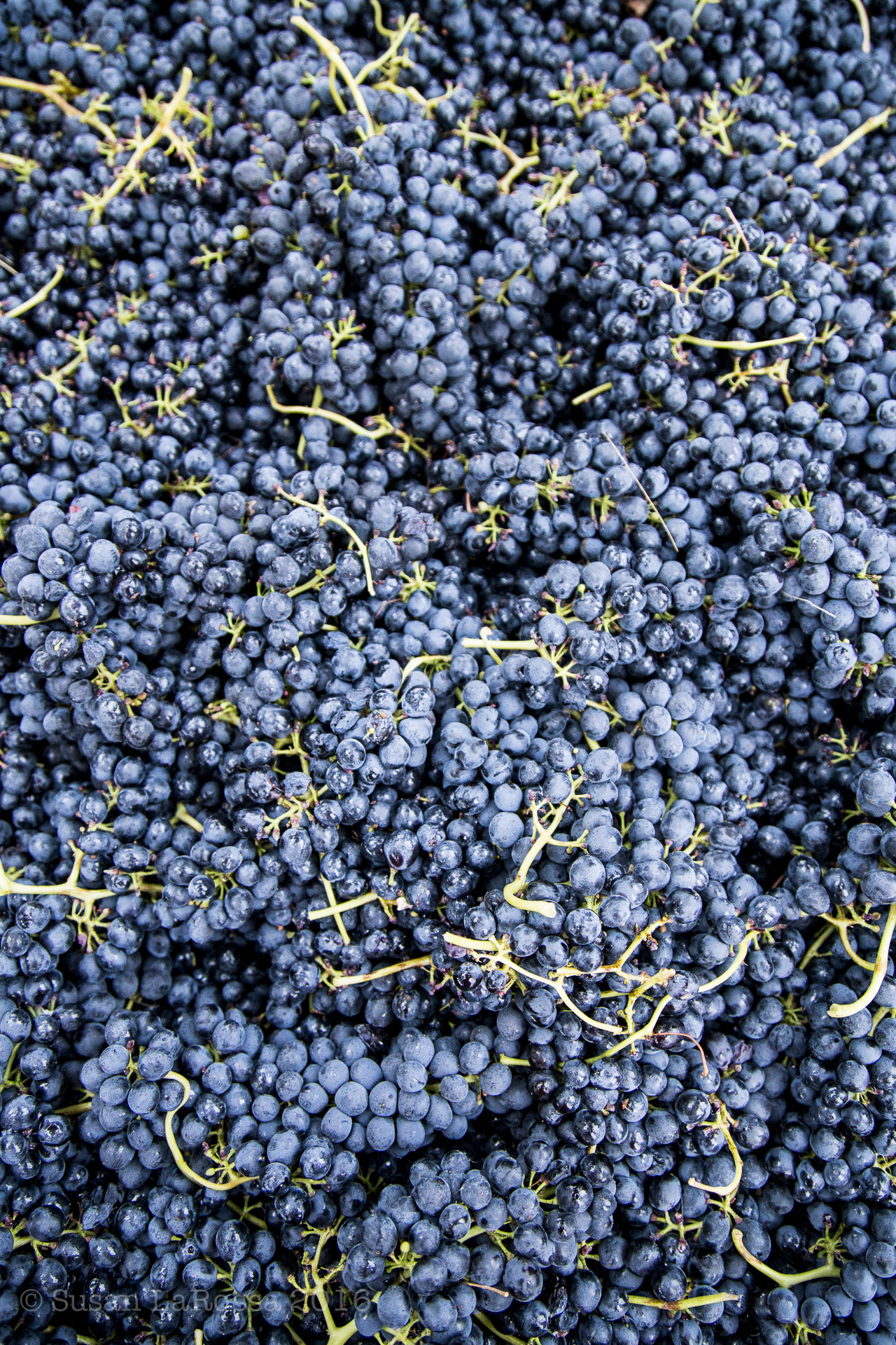 Syrah clusters that will shortly be crushed by foot