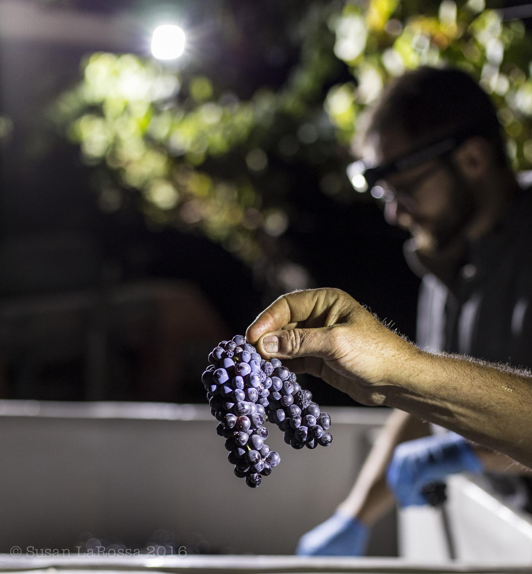cluster of Pinot Noir, harvested from Rapley Trail Vineyard on September 7, 2016