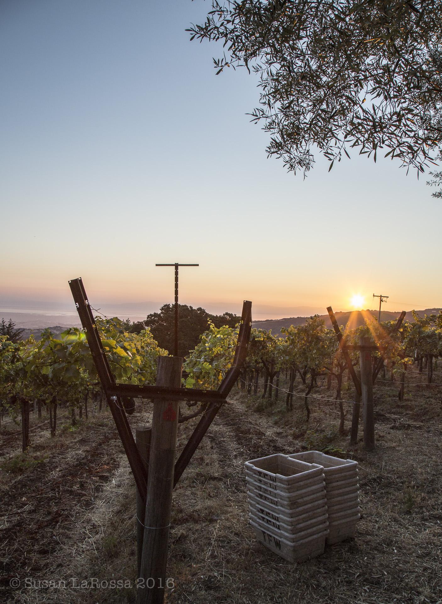 Rapley Trail Vineyard at dawn, September 7, 2016