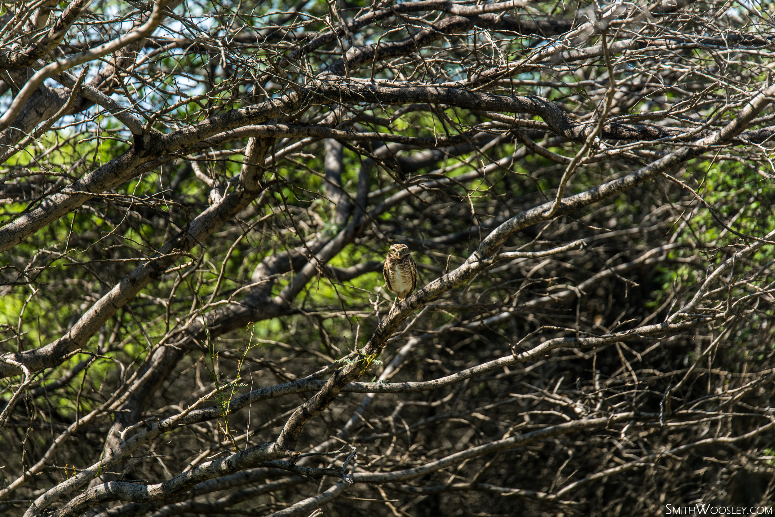Spanish Lagoon Owl.jpg