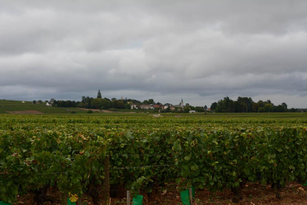 vineyards-aloxe-corton-burgundy-1.jpg