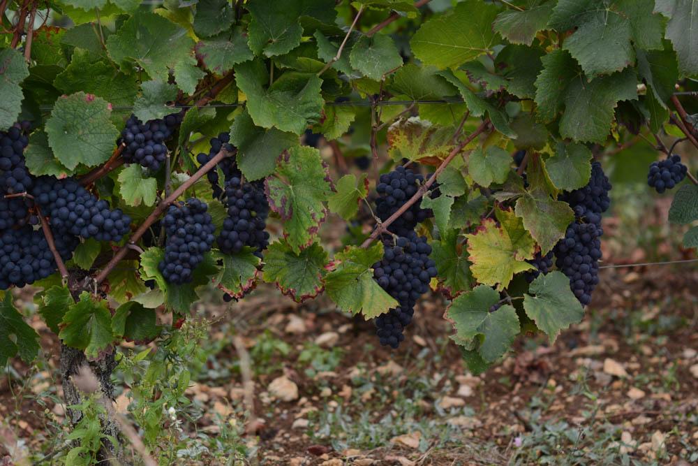 vineyards-burgundy-france-1.jpg
