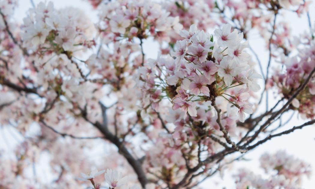 sarah-anne-hayes-cherry-blossoms-2018.jpg