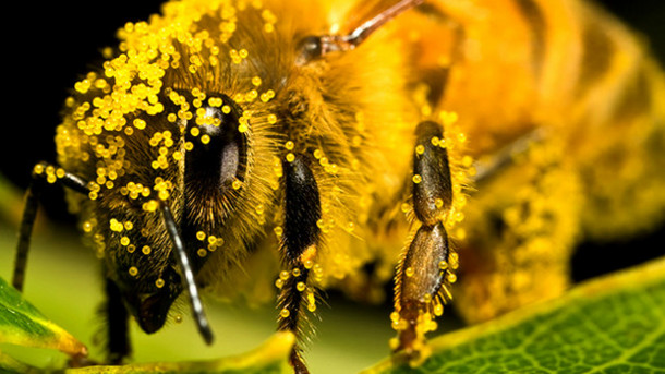Notice the tiny pollen particles all over the body of the bee. How amazing is that?