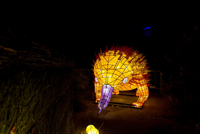 Echidna at Vivid Taronga Zoo