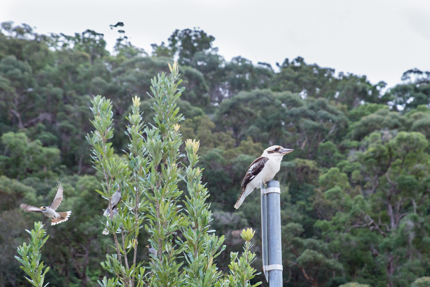 Kookaburra on the sign post just after stealing a sausage!
