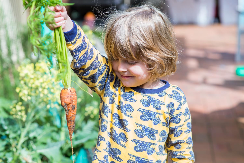 Mr 3 picks a carrot from the garden